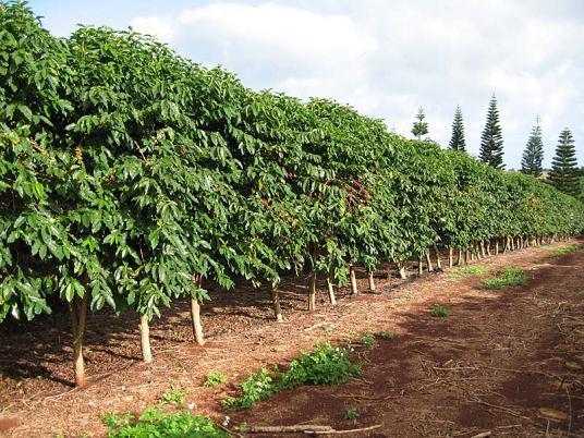 Кофейное дерево Арабика растет во Вьетнаме