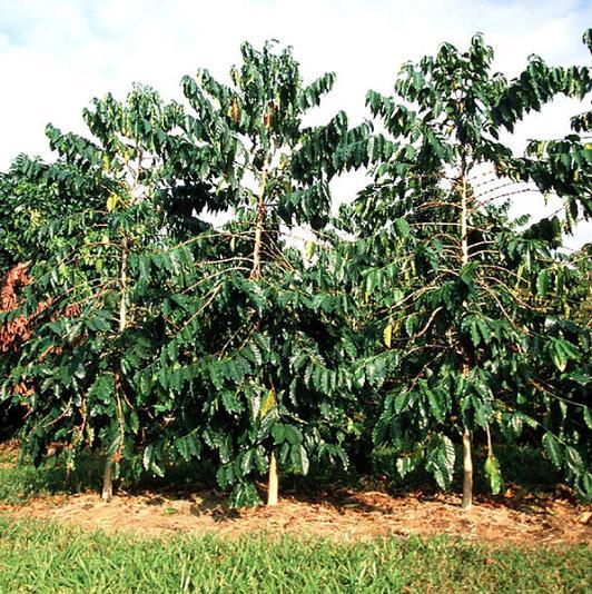 Кофейное дерево Робуста на кофейной плантации Вьетнама