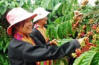 Производство кофе поставлено во Вьетнаме на поток