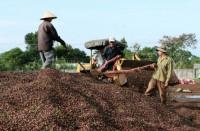 Как производят кофе во Вьетнаме